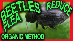FLEA BEATLES: How to reduce these voracious bugs from destroying your garden plants.