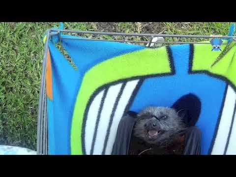 Rescuing a bat found on the ground:  this is Nick