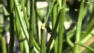 Комнатные цветы убийцы - По мнению специалистов по комнатным растениям, Елены Сентябовой и Александра Куленкамп, тропические расте...