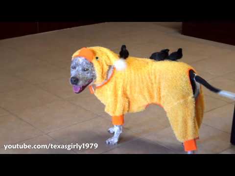 Amazing! Dog, Cat and Chicks celebrate HALLOWEEN! Pit Bull Sharky &  RoombaCat Max-Arthur
