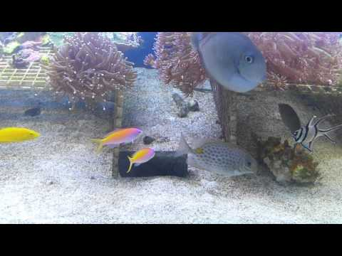 Orange Spotted Rabbitfish
