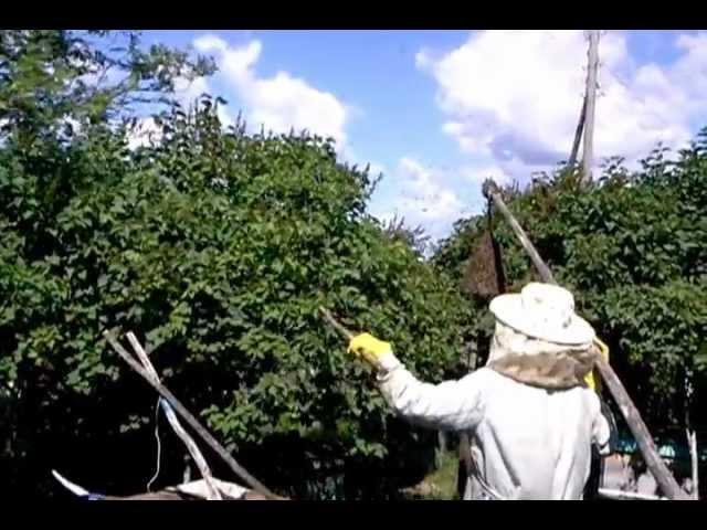 Відразу чотири рої агресивних бджіл оселилися на подвір'ї у прикарпатського ґазди