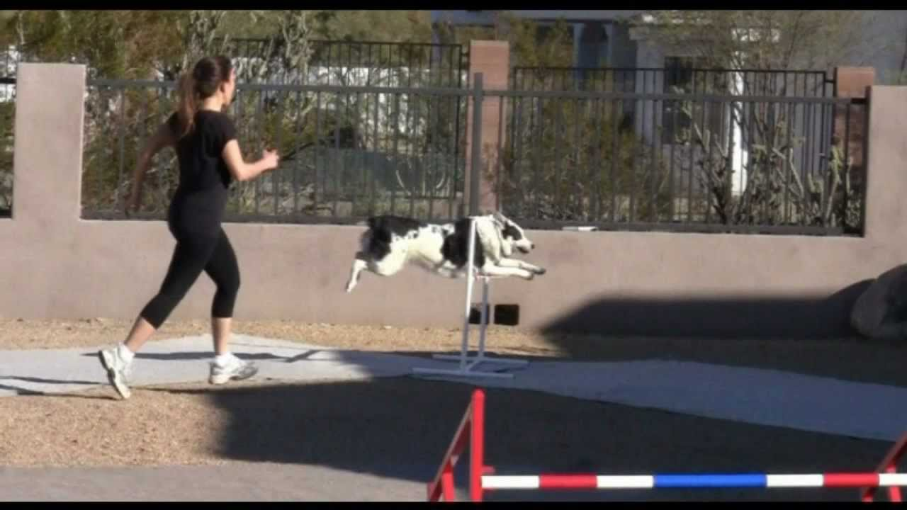 backyard dog agility training with roxy youtube