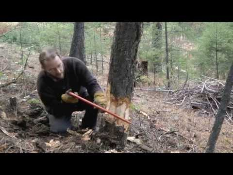 Felling Trees with a Bow Saw
