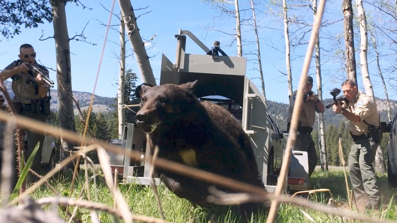 Officers Release Problem Bear Back Into The Wild Youtube