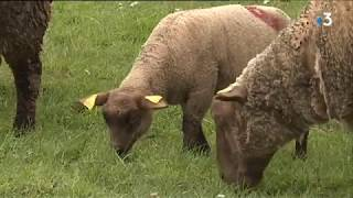 A Pâques, l'agneau de pré-salé est toujours aussi cher aux consommateurs