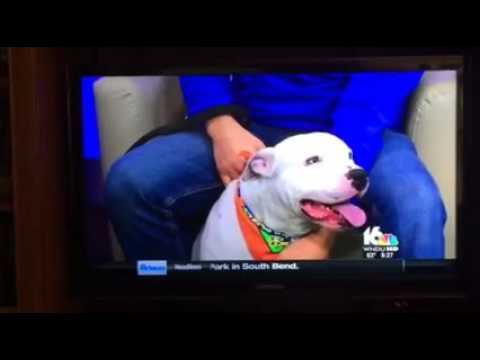 pitbull attack caught on video reporter attacked on live tv