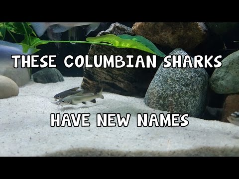 COLUMBIAN SHARKS│AFRICAN CICHLIDS │COMMUNITY│NEW │ADDTITIONS