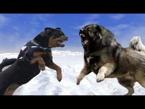 rottweiler-vs-caucasian-ovcharka---who-would-win-in-a-fight?-[mr-fenley]