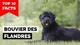 Bouvier des Flandres  Top 10 Facts