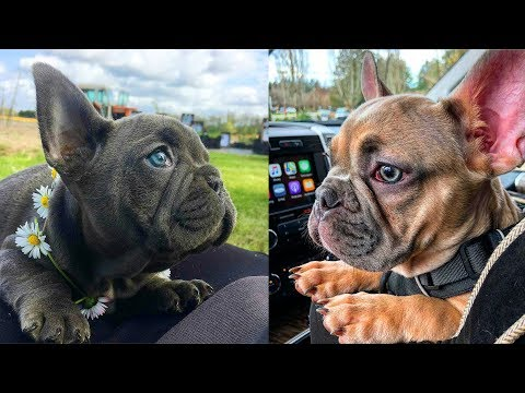 FRENCH BULLDOGS! Try not to laugh | Cute and Funny French Bulldogs doing funny things # 3 |Cute Pets