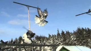 Николаевские голуби- первый снег-опасно,голуби Кременной