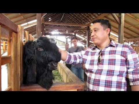 Peternakan Kambing Etawa Kaligesing (Jamunapari Goat Farming in Indonesia)