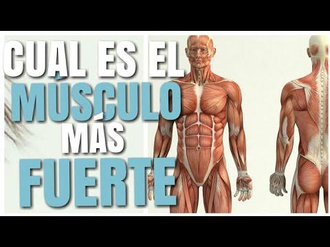 Cual es el musculo mas importante del cuerpo humano