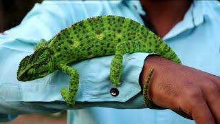 क्या रंग बदलू गिरगिट के फूंक मारने से आंख चली जाती है | Chameleon lizard, Non venomous