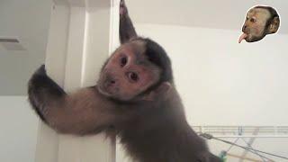 Capuchin Monkey Vs Pit Bull