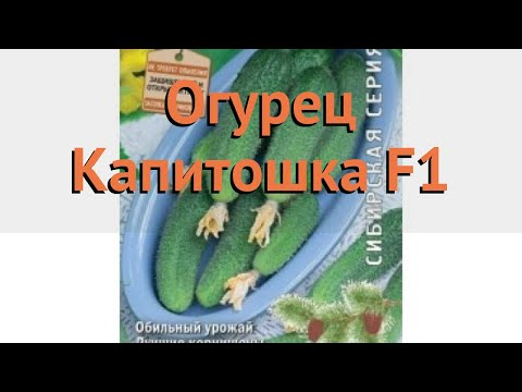 Огурец обыкновенный Капитошка F1 (kapitoshka f1) 🌿 обзор: как сажать, семена огурца Капитошка F1