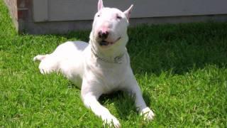 Rockstar At Escamilla Bull Terriers