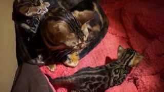 котята Бенгальские в Москве продать - купить 2