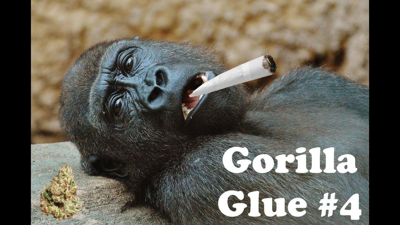 Gorilla Glue #4 Strain Information / Review