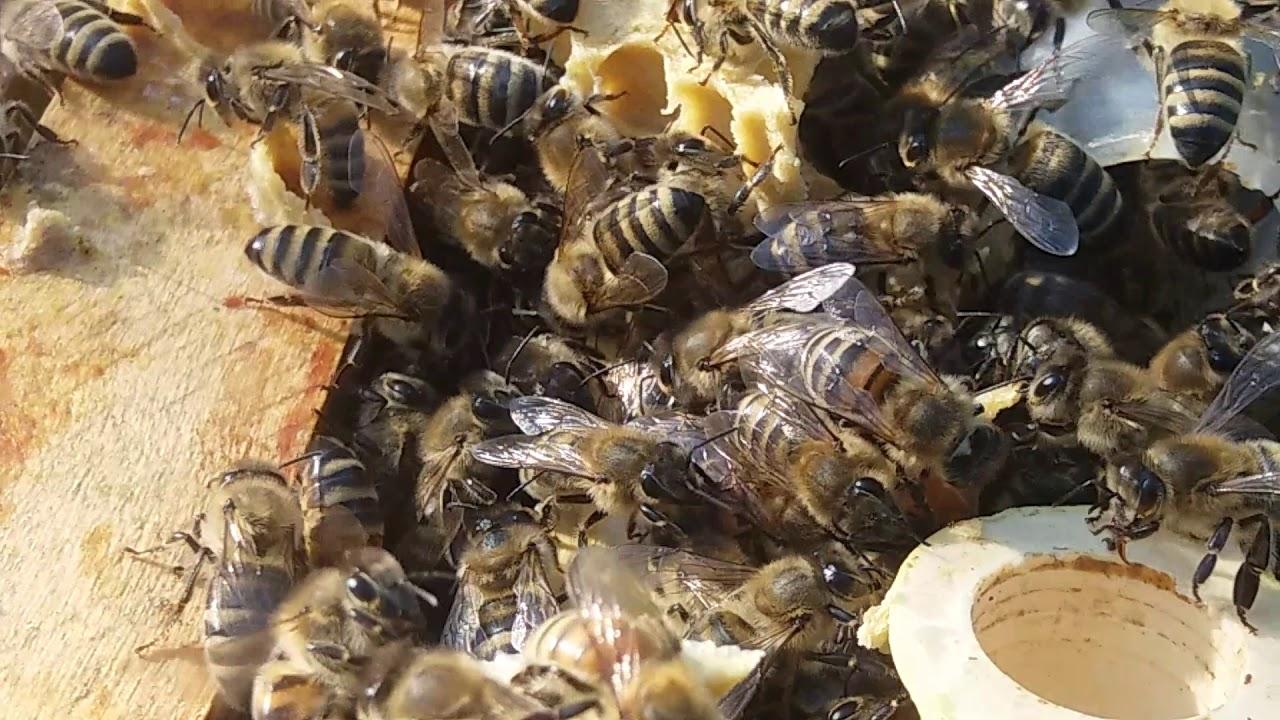Пчелосемья принимает матку Бакфаст. Утро 15 июня 2019г.