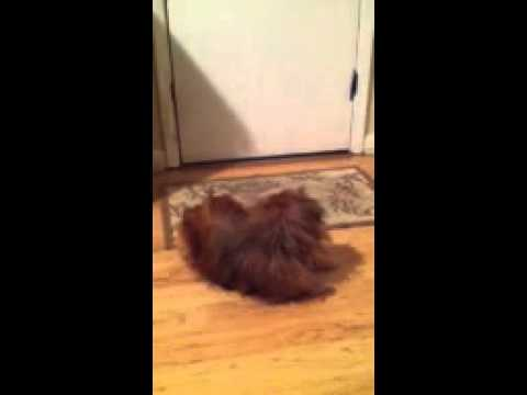 Gizmo Chases his tail!!!