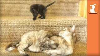 Tiny Kitten Conquers The Stairs - Kitten Love