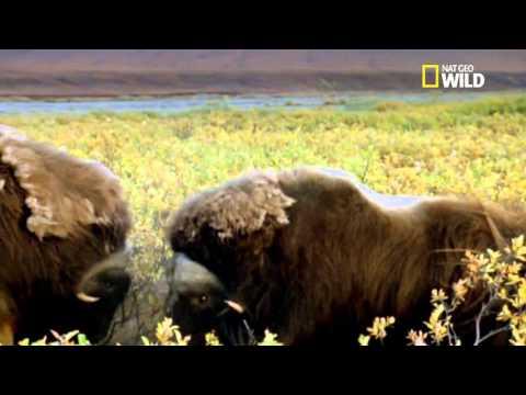 Combats violent de bœufs musqués