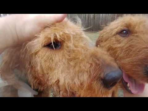 Sitting  In Our Lane Loving Life W/ My Airedale Terriers Puppies For Sale On February 20, 2018