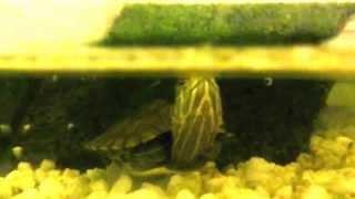 P4250201(Това е моята костенурка, когато си взима въздух :D ., 2013-05-13T08:31:51.000Z)