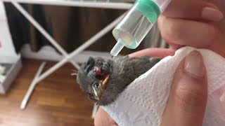 Woman rescues bird from angry magpie, treats its wounds thumbnail