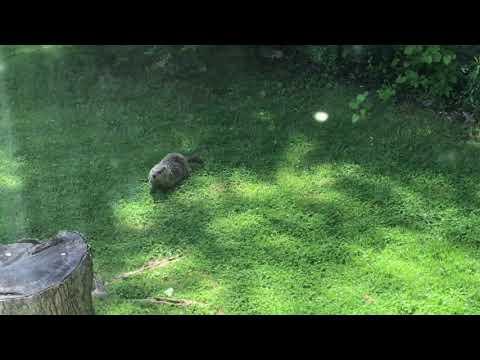 Belle Vernon Pennsylvania Groundhog