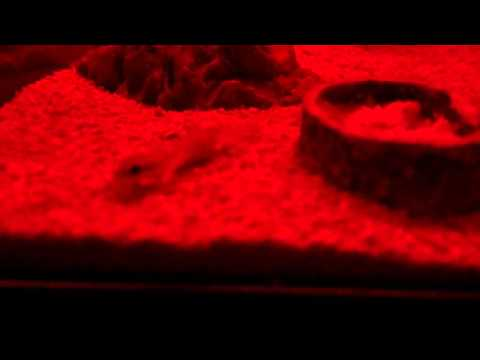 Tropiocolotes Steudneri colony in HD