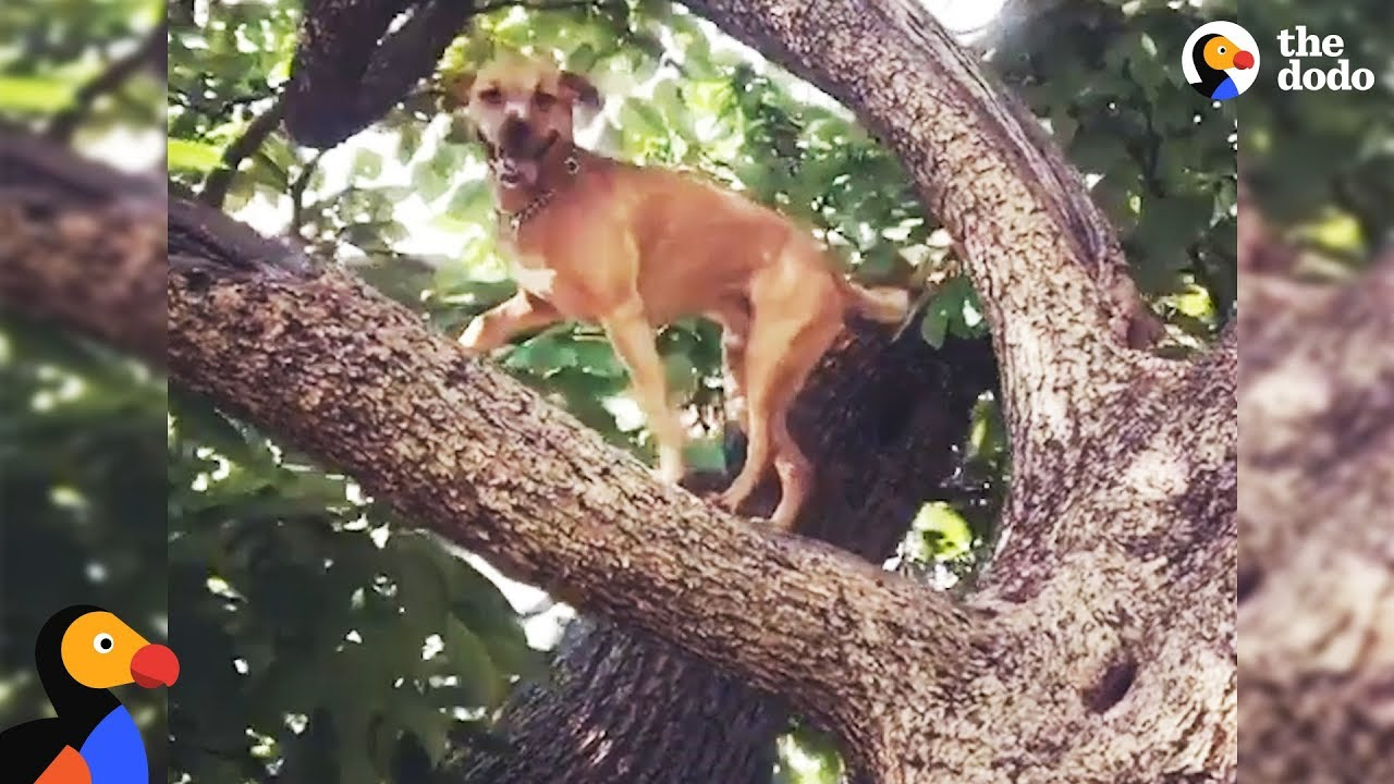 Dog Climbs Trees To Overcome His Anxiety - RINGO | The Dodo