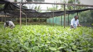 Dilmah Tea Estate - Henakanda