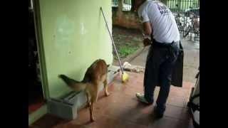 Treino De Cão De Polícia - Cleomar E Bucky - Alpha Dog Club