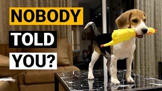 Cosas que NADIE te dice sobre ser dueño de un Beagle