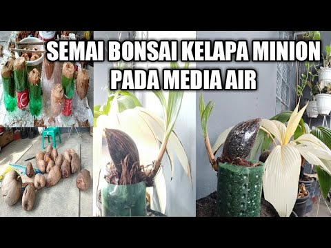 Semai Bonsai Kelapa Minion Pada Media Air Youtube