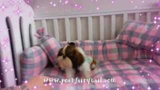 Poshfairytail Full Grown Tiny Teacup Shih Tzu Boy Sold