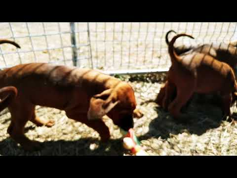 Awesome REDBONE COONHOUND PUPPIES