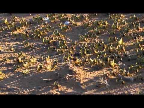 Desert locust (Schistocerca gregaria) marching