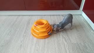Трек с шариками для кошек, или как занять надолго кота! (канадский сфинкс играет)