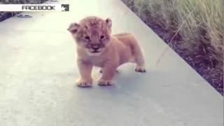 Маленький «тигролев» покорил сердца пользователей Сети