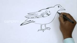 How to Draw an American Crow