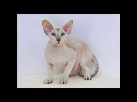 Peterbald Cat and Kittens   History of This Charming Breed