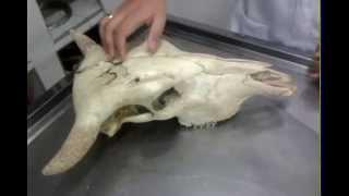 Cranio 1