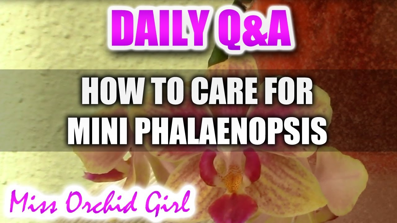 Q A How To Care For Mini Phalaenopsis Orchids Youtube