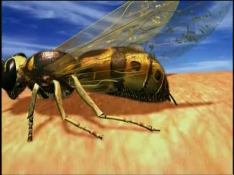 European Wasp - Video Production by Rapid Replicators