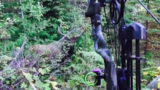 Bow Hunting Elk 5 yards (6x8)!!! SOLO CALLED SHOT FILMED - Stuck N the Rut 54
