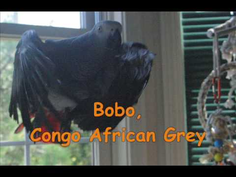 Fly to Camera, PART 4:  Photographic Study of Parrot Flight - Congo African Grey